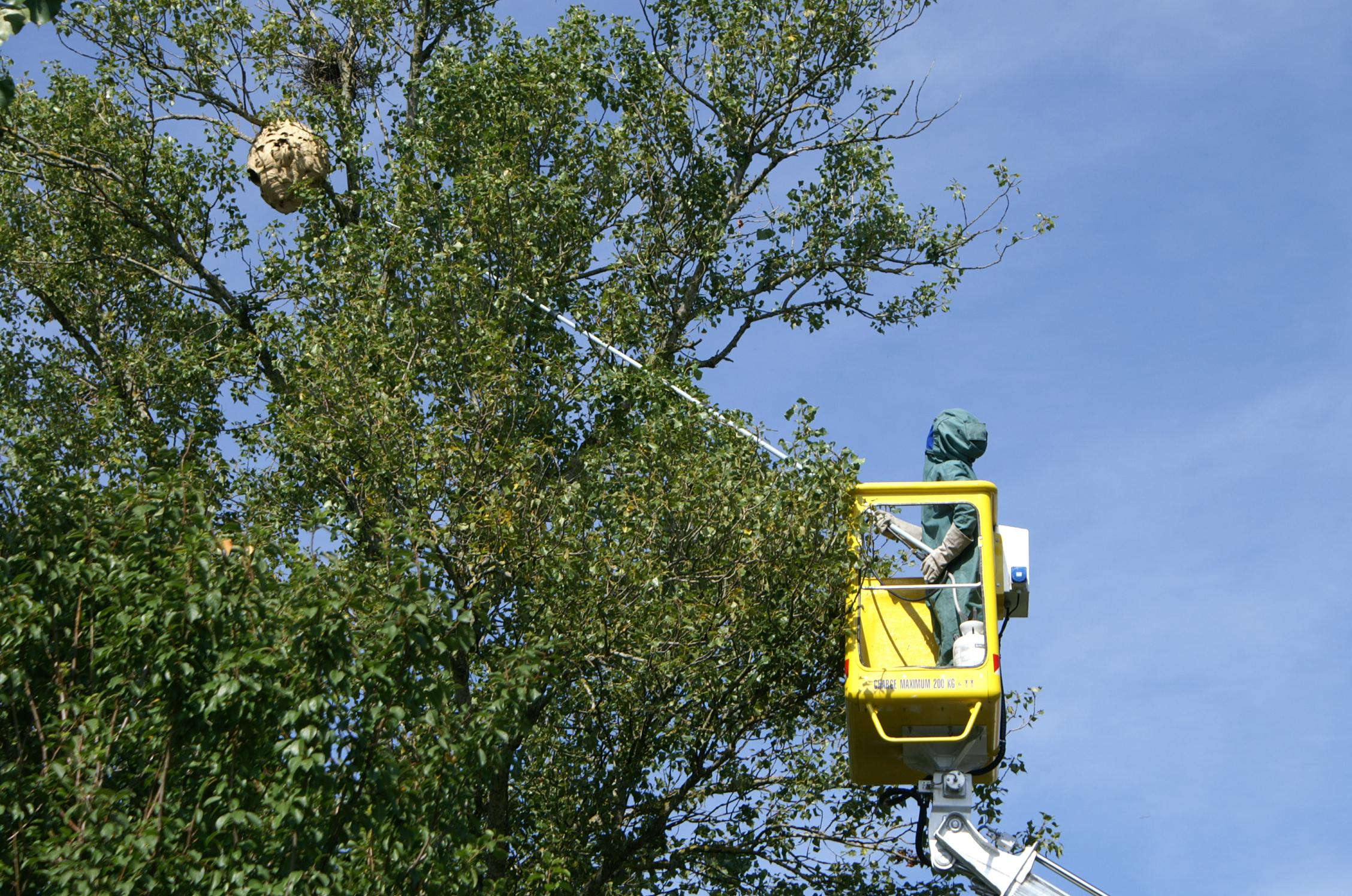 Les feuilles tombent, les nids de frelons asiatiques apparaissent!