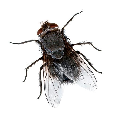 Mouche - Pourquoi les mouches piquent ...