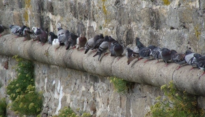 Pigeon - Dépigeonnage, dératisation - Guêpe buster