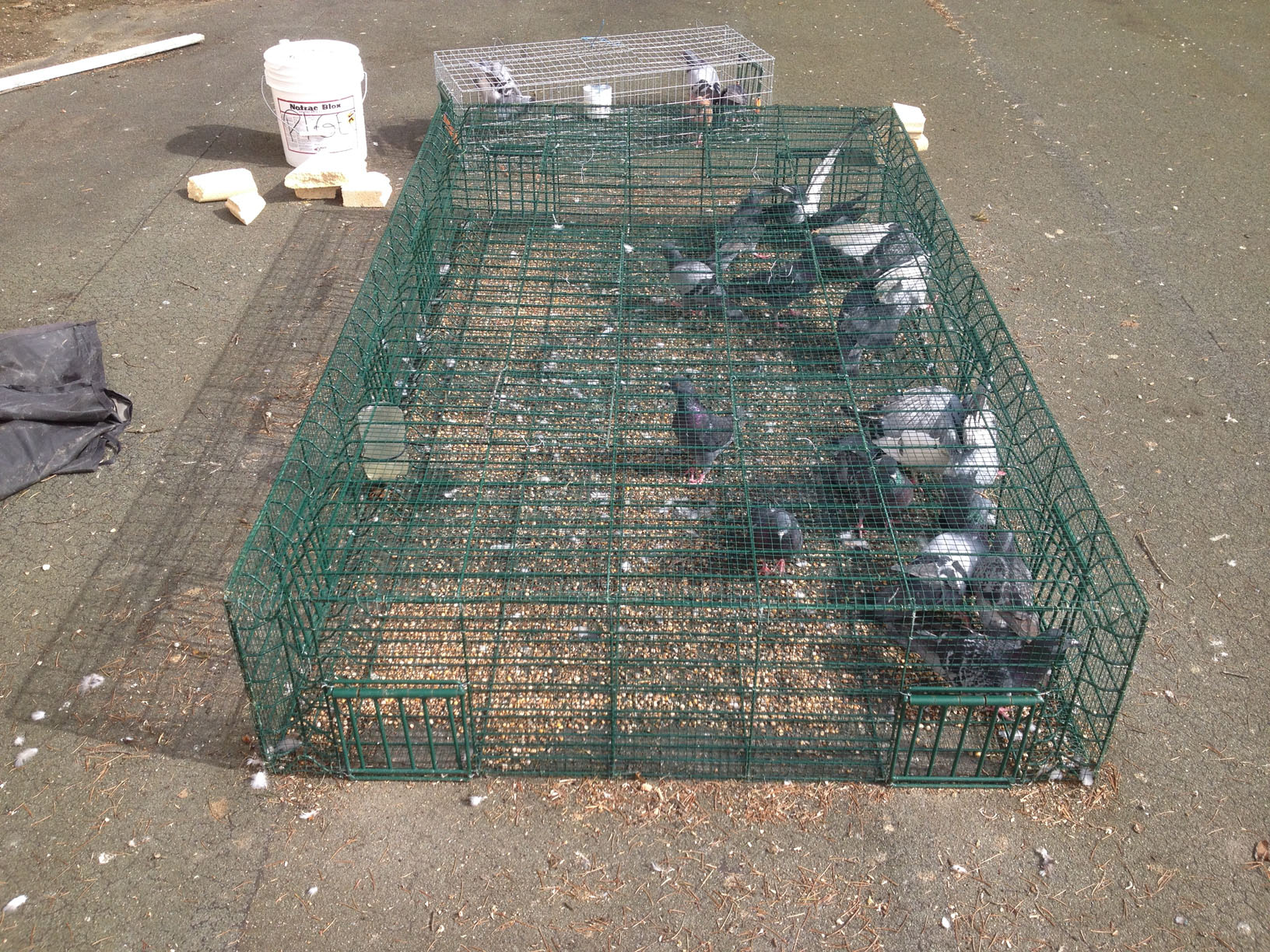 Intervention Piégeage pigeon Mars 2014