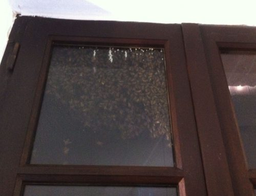 Intervention Enlèvement Nid d'abeille derrière une fenêtre 16 Avril 2014