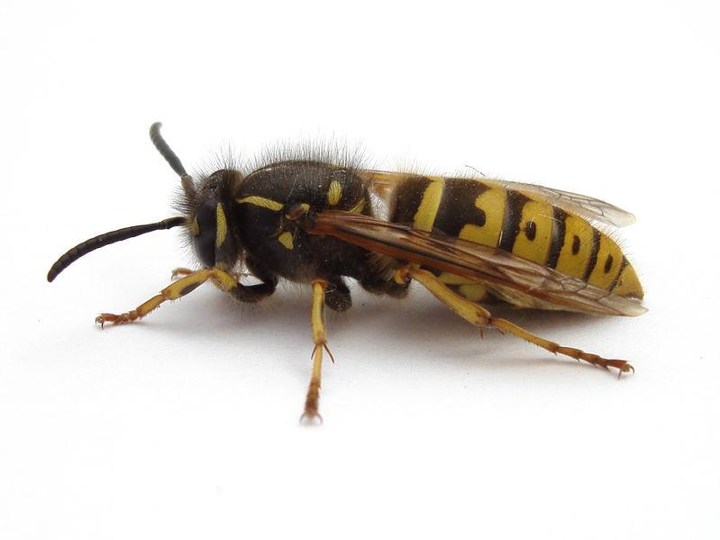 Désinsectisation abeilles - Destruction de nid abeilles - Guêpe Buster