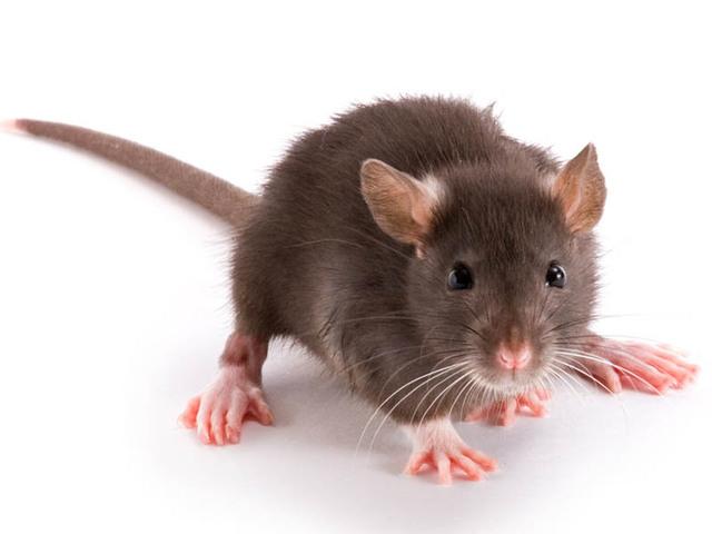 rat dératisation toulouse - Guêpe Buster