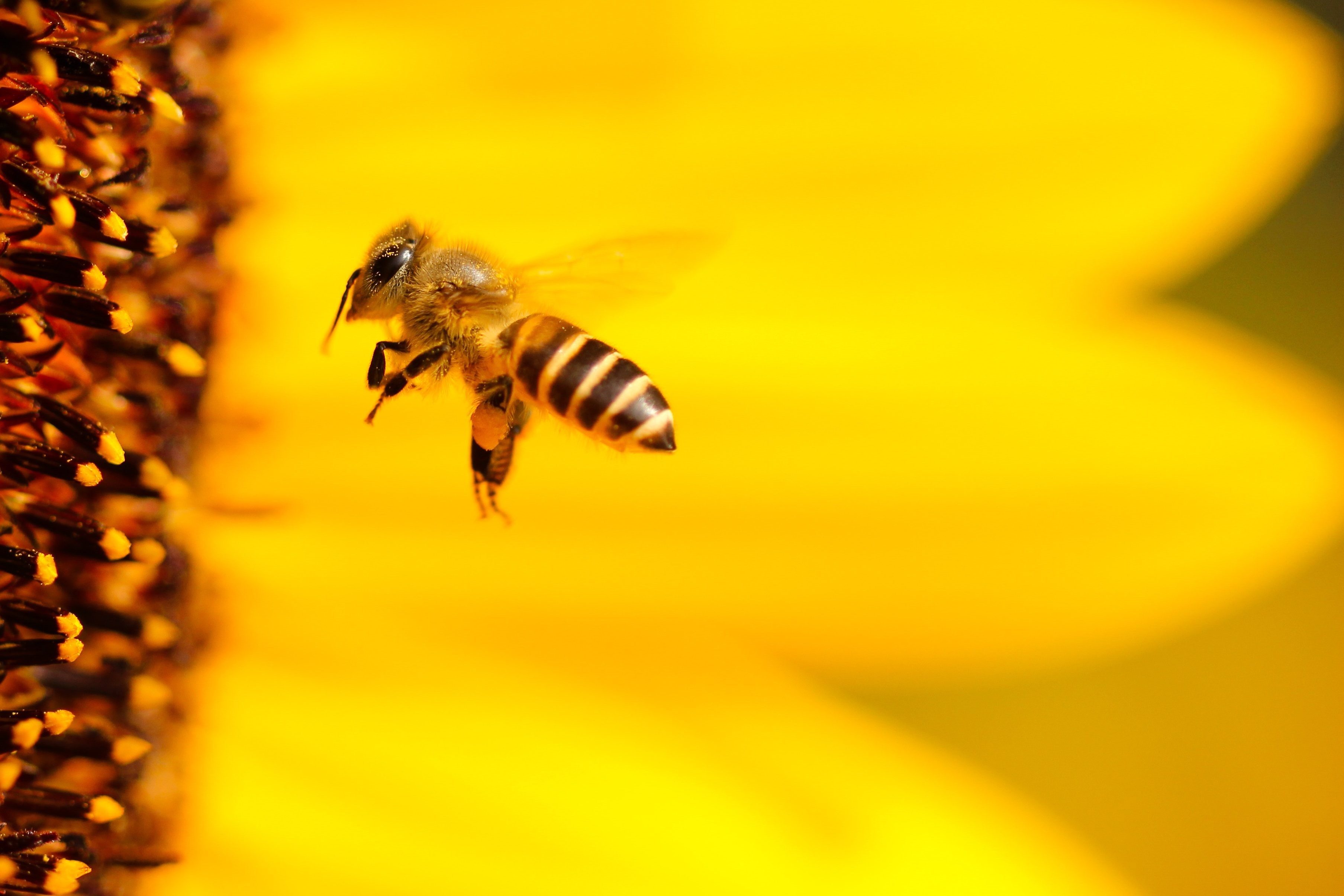 Désinsectisation abeille